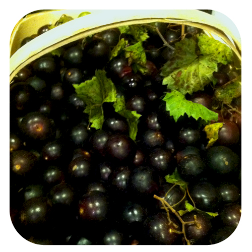 It's cannin' season: Muscadine Jelly